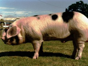 Britain's most expensive pig.