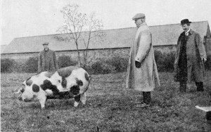 The First Selection, L-R Harry Nichols of Kingscote, James Peter of Berkeley (Chairman) and W Nixon, Livestock Officer for Province of Bristol, selecting pigs for the first herdbook.